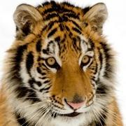tiger23